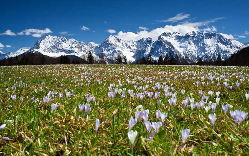 Krokuswiese mit Blick ins Karwendel