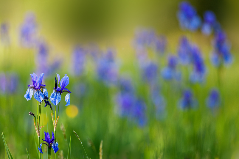 Sibirische Iris
